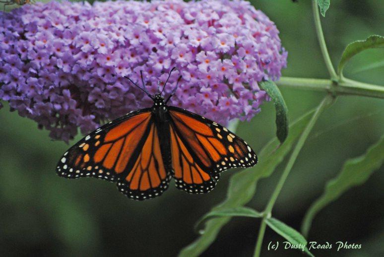 Butterflies 004 copy