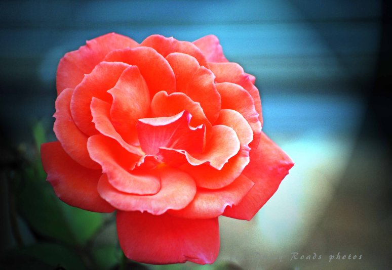 flower 002a copy