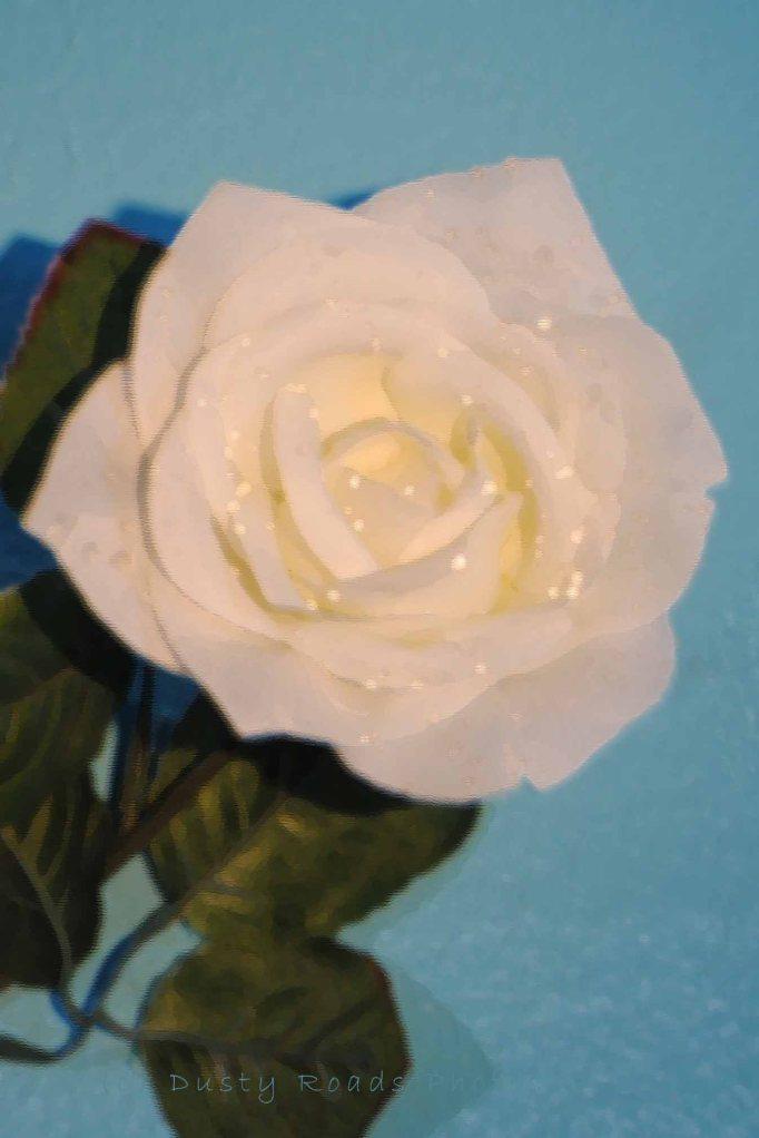 white rose 002a copy