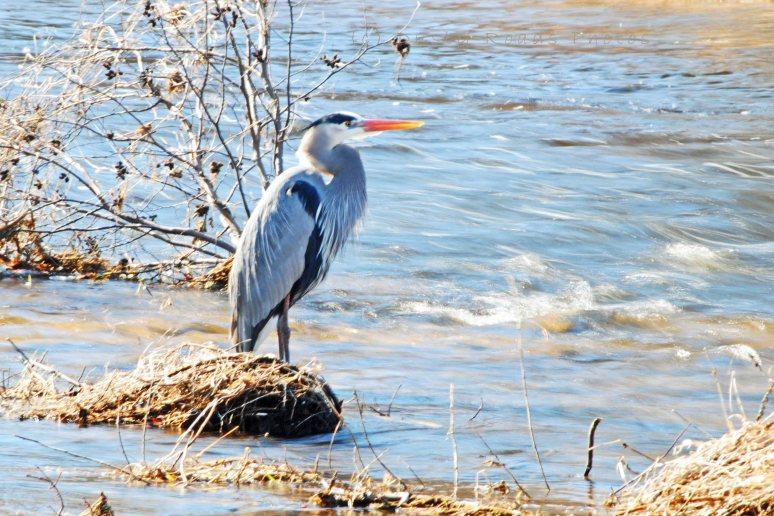 Blue Heron 015a copy