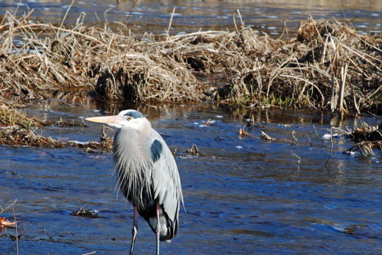 Blue Heron 052a copy