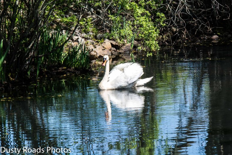 Grist Mill Swan