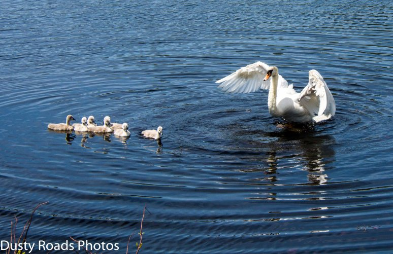 swan-family-2a
