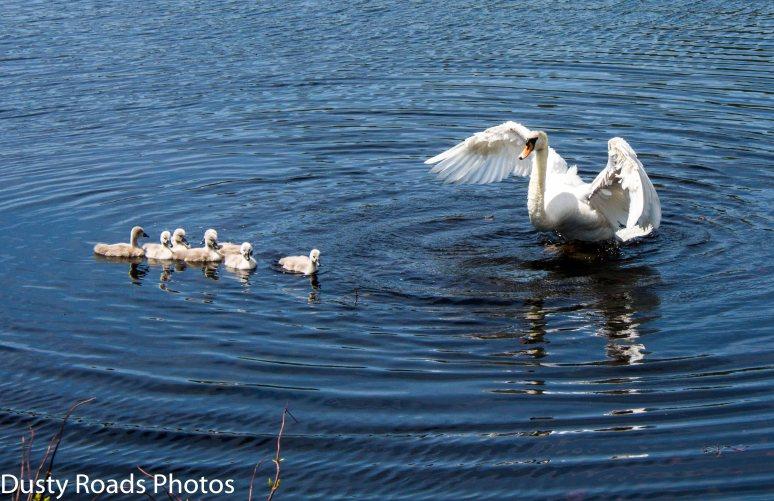 swan-family-2a