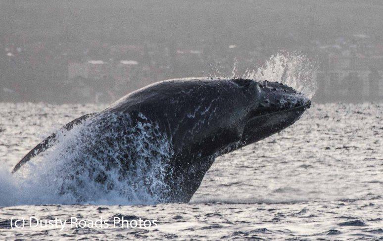 Baby Whale Breach