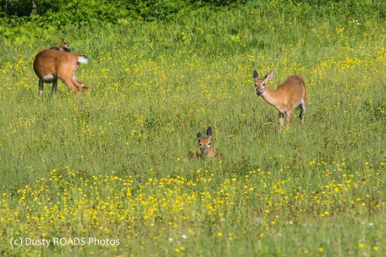 Deer in a field of flowers