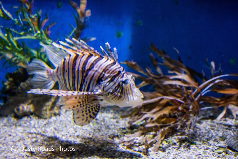 Livingston the Lion Fish