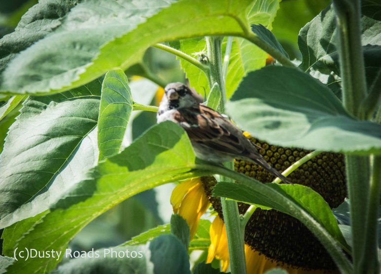 Little Bird Big Sunflower