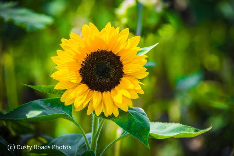 Perky Sunflower