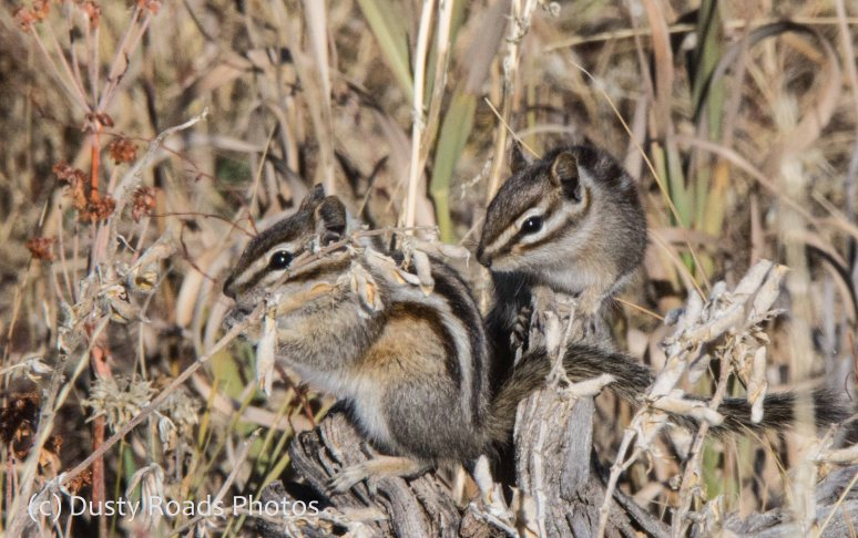 Wyoming Chipmunks