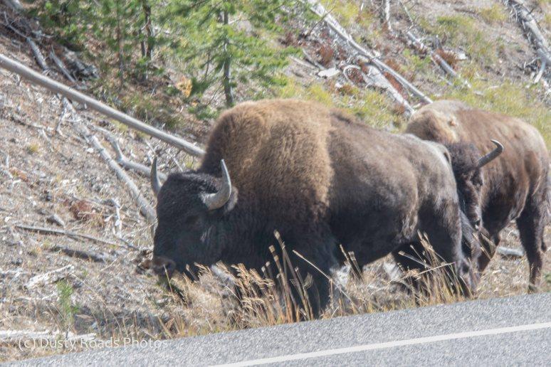 Bison on the shoulder