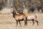 A Pair of Bull Elk